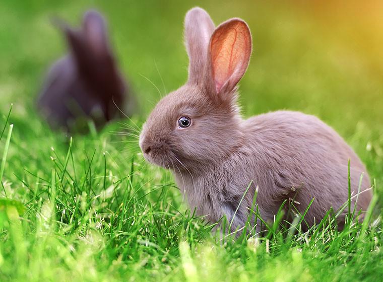 Кролики возможно стали главными переносчиками коронавируса из Уханя
