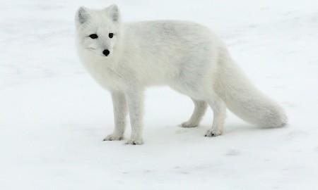 Песец фото на снегу (арктическая полярная лиса)