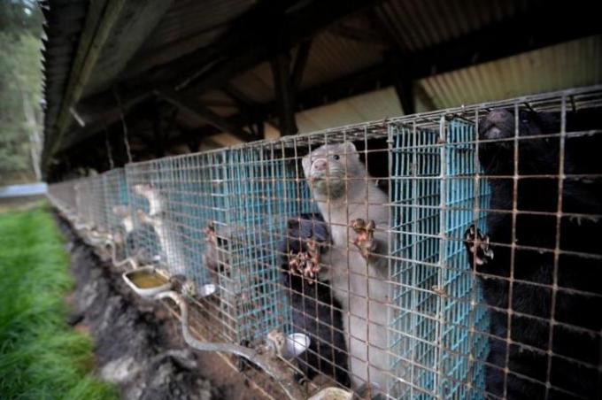 Закрытие пушных ферм в Европе влечет подорожание натурального меха